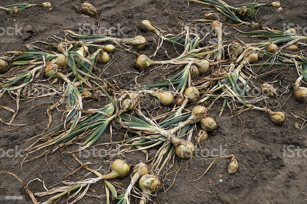 picked onions lie on the dirt royalty-free stock photo
