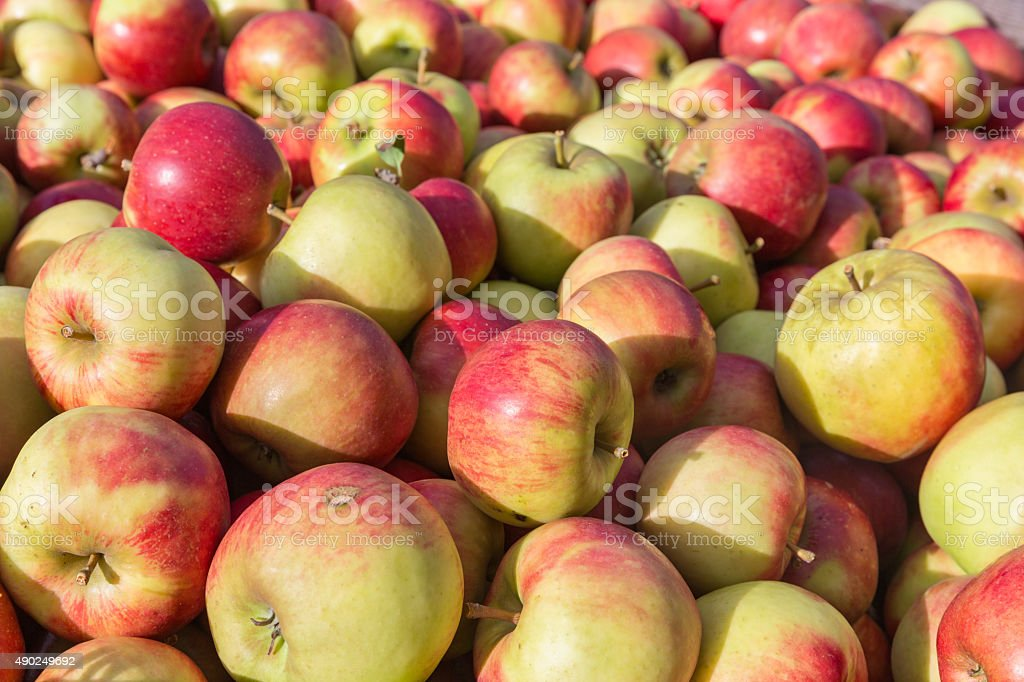 picked ripe apples stock photo