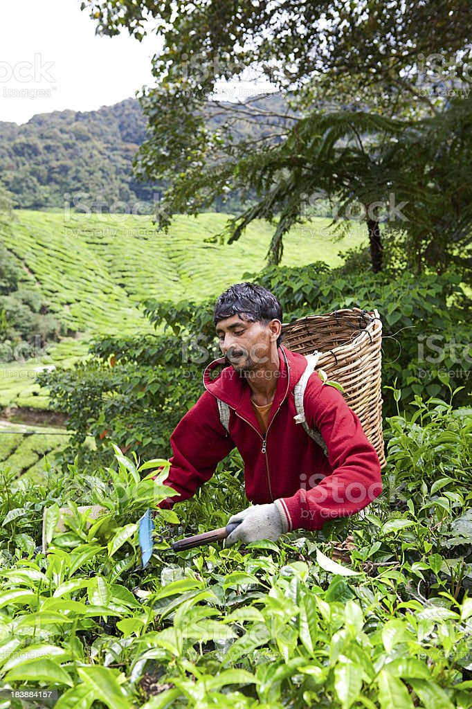Picker working on Tea Plantation in Malaysia royalty-free stock photo