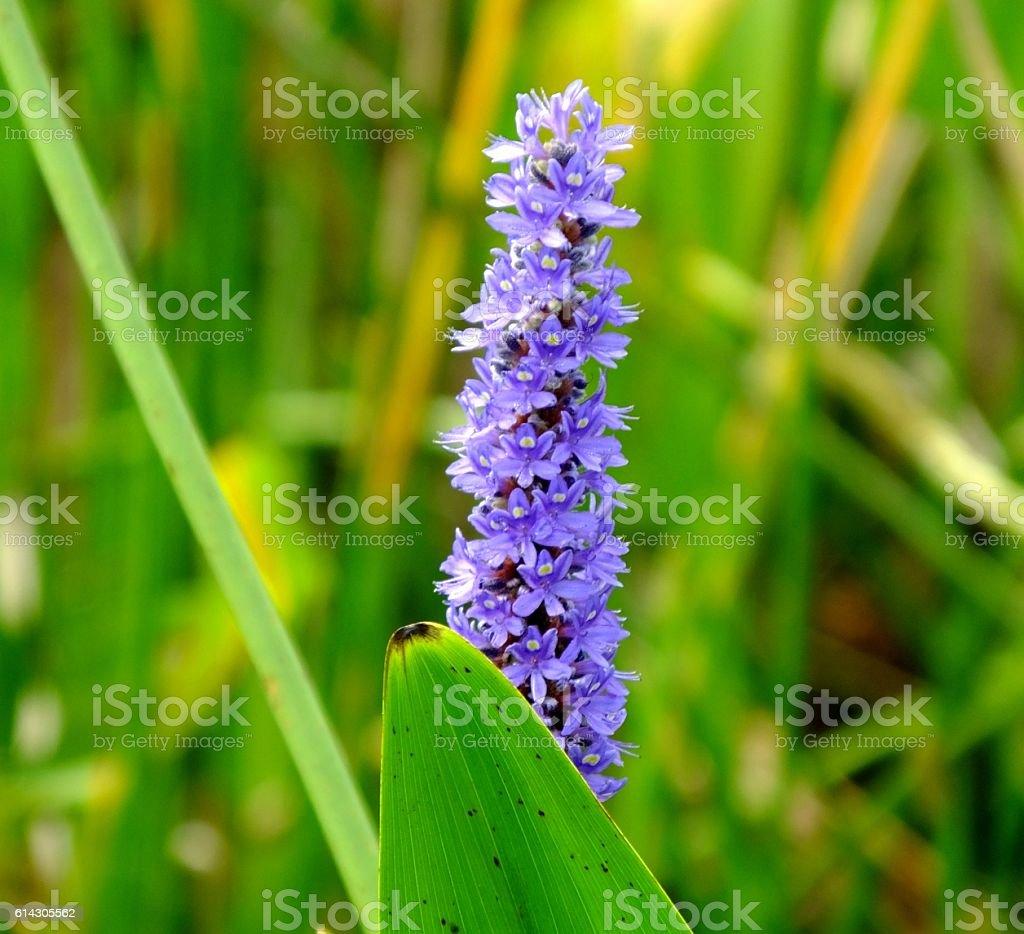 Pickerelweed Flower (Pontederia cordata) stock photo