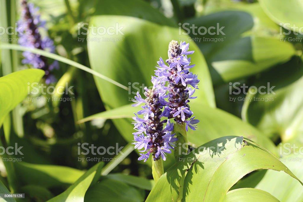 Pickerelweed (Pontederia cordata) stock photo