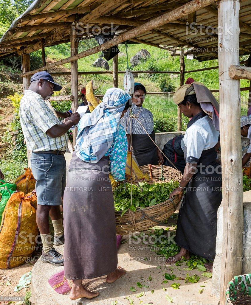 Pickers and Supervisor weighing tea near Norwood, Sri Lanka stock photo