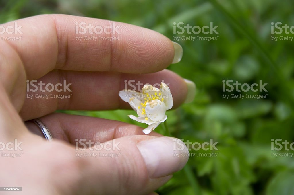 picking a flower royalty-free stock photo