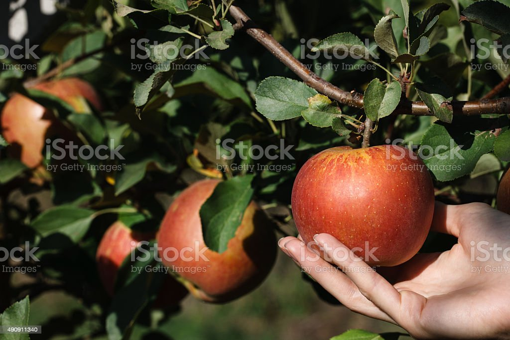 Picking a red ripe apple stock photo