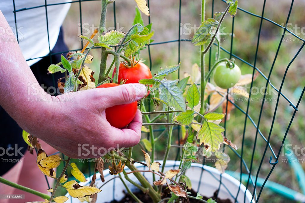 Picking a Red Tomato stock photo