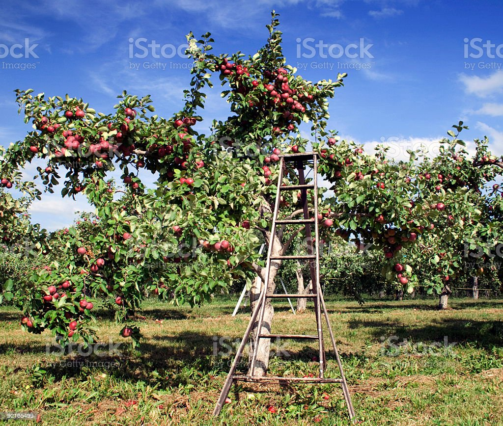 Picking apple stock photo