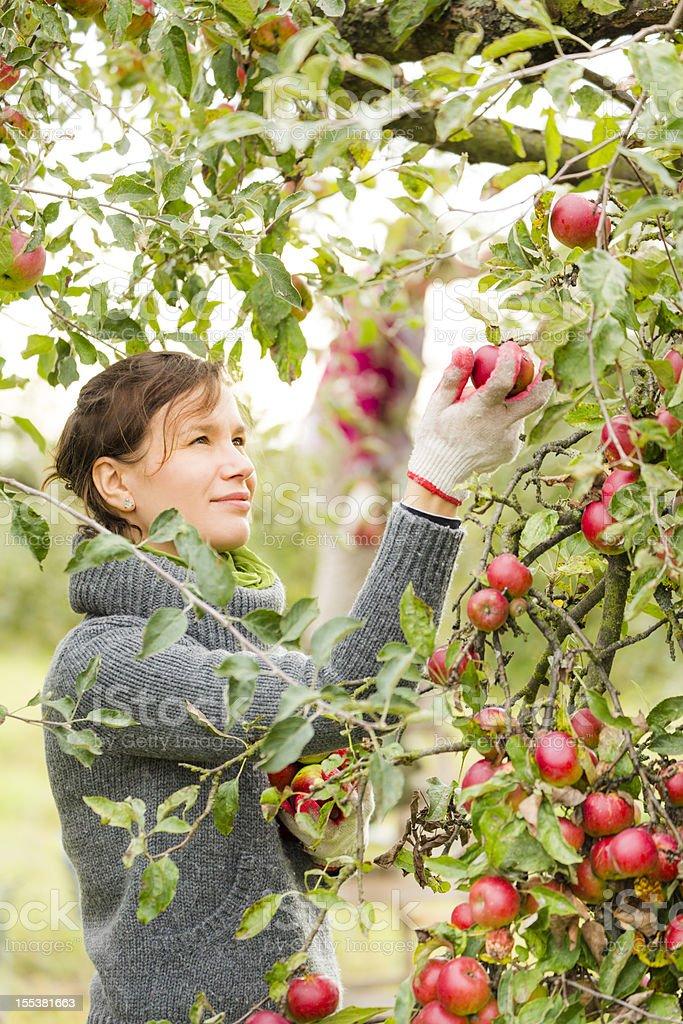 Picking apples stock photo