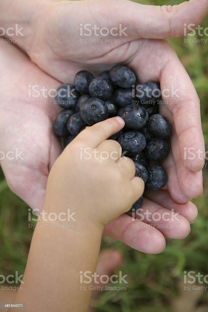Picking Berries royalty-free stock photo