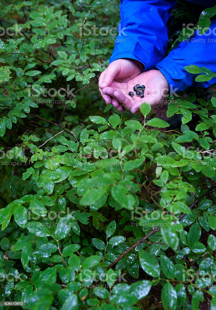 Picking blueberries in the rainforest stock photo