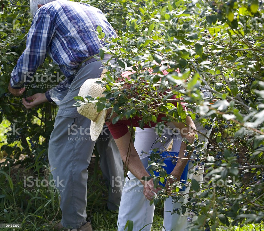 Picking Blueberries royalty-free stock photo