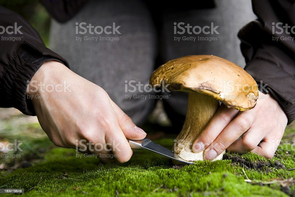 Picking bolete mushroom royalty-free stock photo