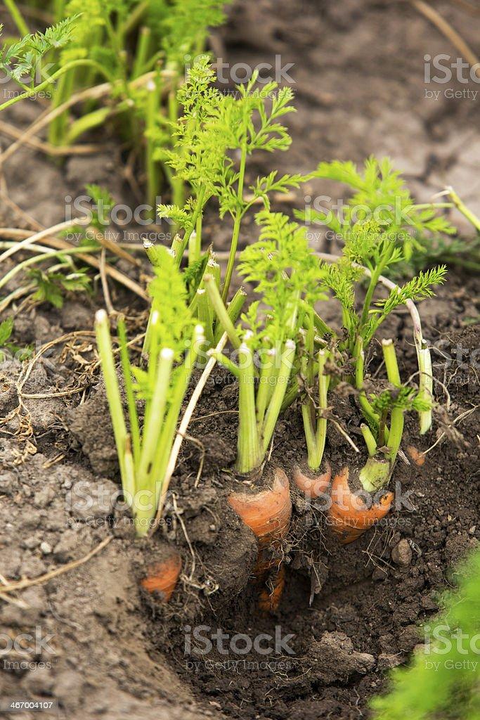 Picking carrots royalty-free stock photo
