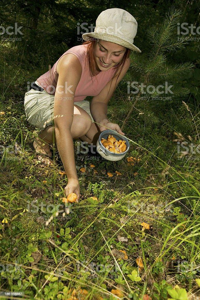 picking chanterelle mushrooms stock photo
