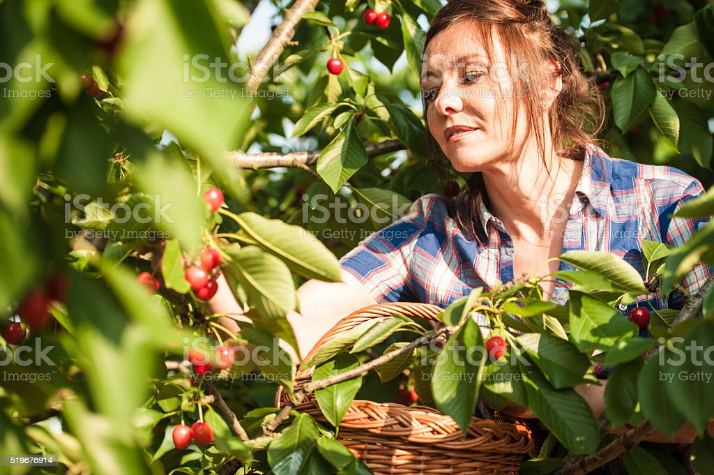 Picking Cherries stock photo