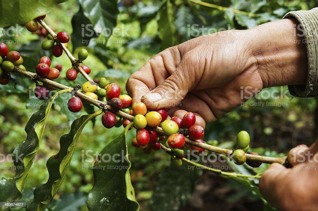 Picking coffee stock photo