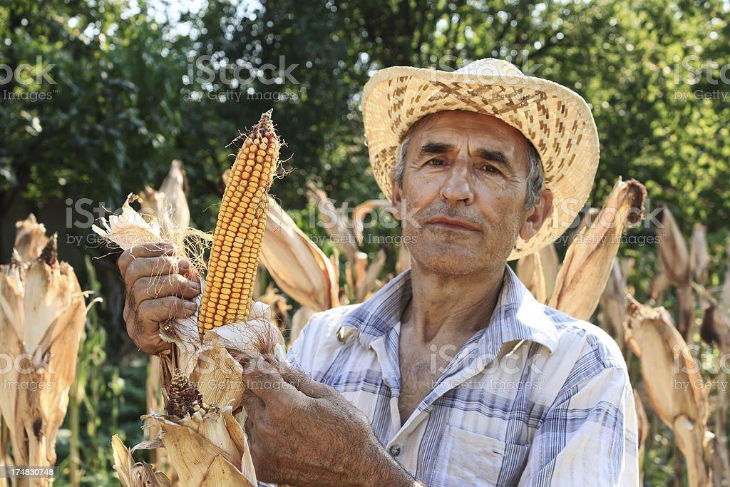 Picking Corn royalty-free stock photo