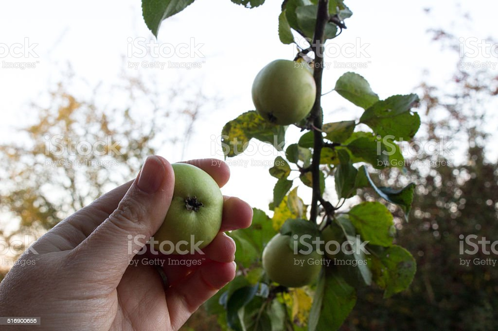Picking crab apples stock photo