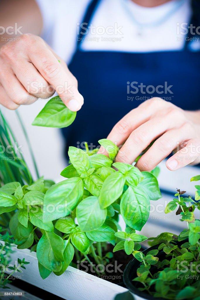 Picking Fresh Herbs stock photo