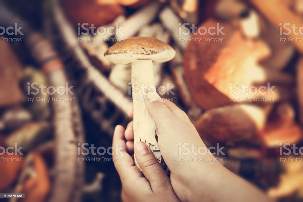 Picking fresh mushrooms in the summer stock photo