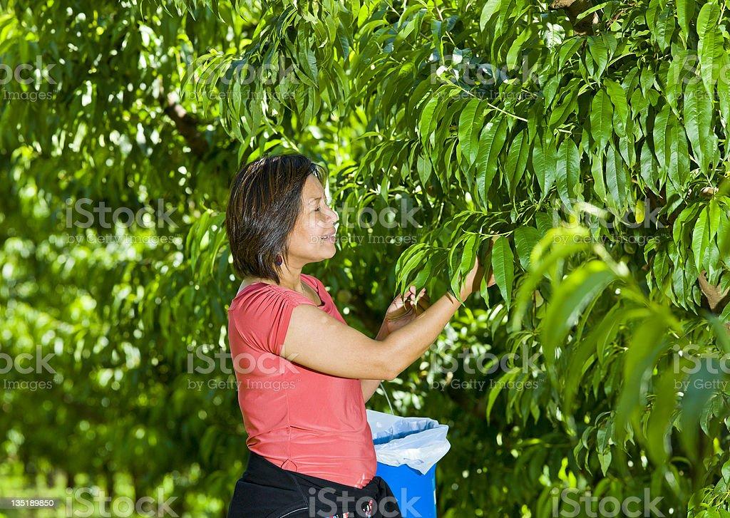 Picking fresh nectarine stock photo