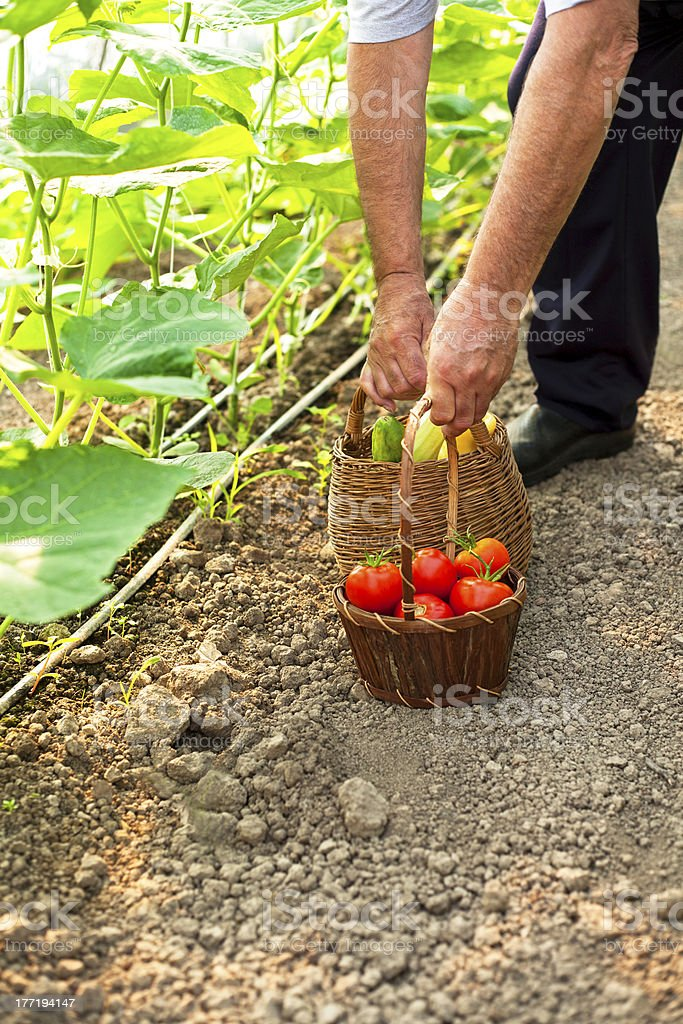 picking fresh tomatoes royalty-free stock photo