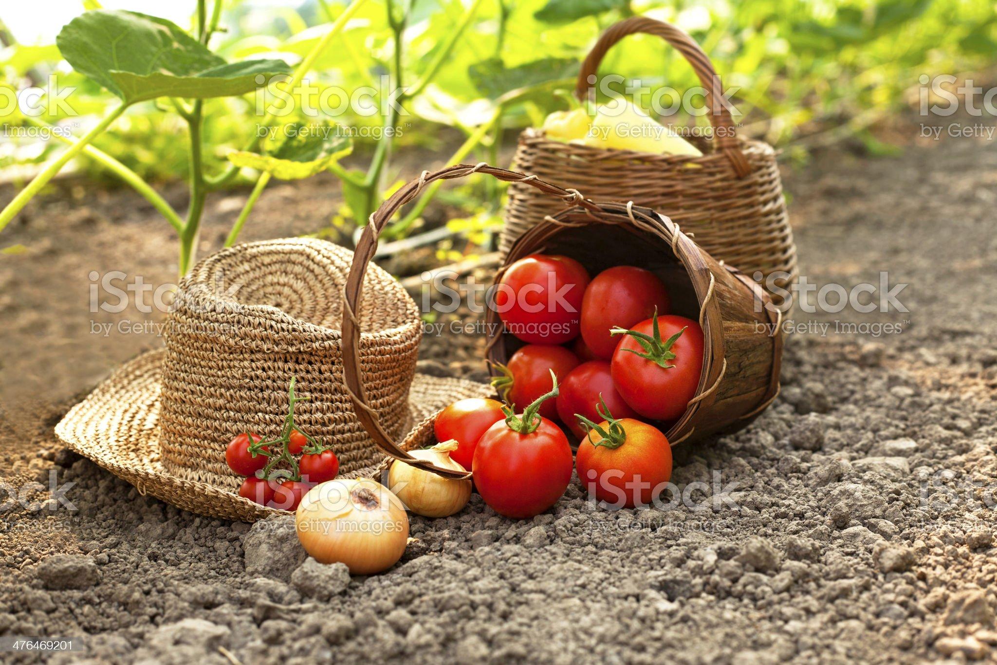 Picking fresh vegetables royalty-free stock photo