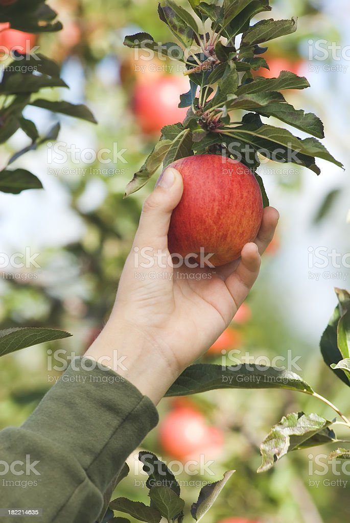 Picking Gala Apples in the orchard - I royalty-free stock photo