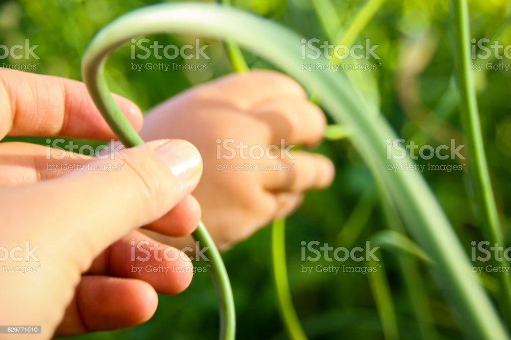 Picking Garlic Scapes stock photo