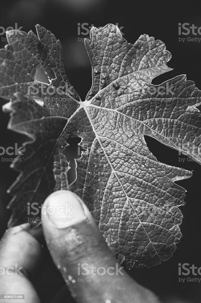 Picking grapes, Stellenbosch, South Africa stock photo