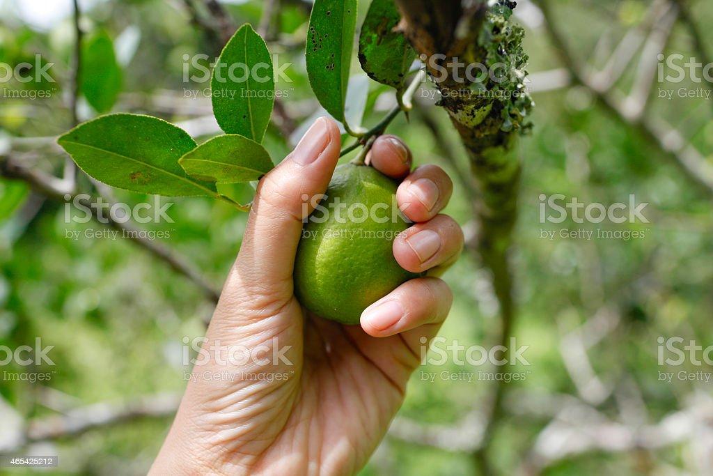 Picking lemon royalty-free stock photo