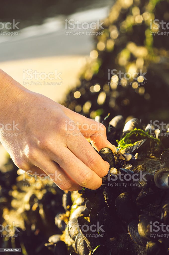 Picking mussels from a beach in Cornwall stock photo