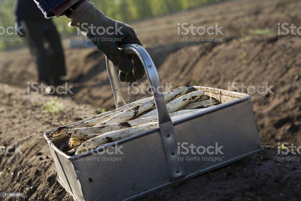 picking of white asparagus royalty-free stock photo