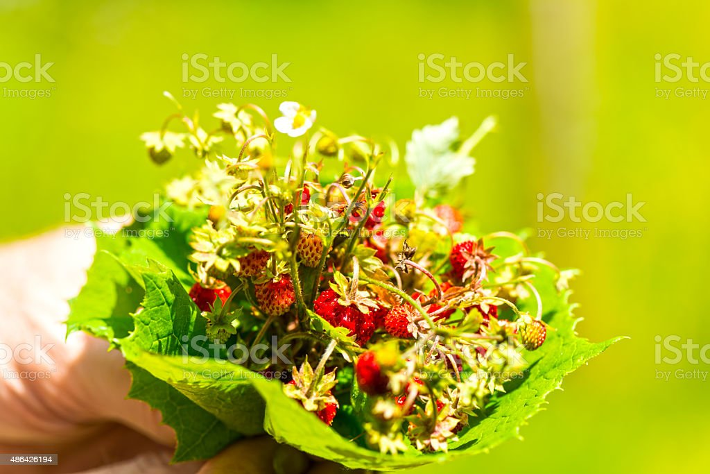Picking of wild strawberries stock photo