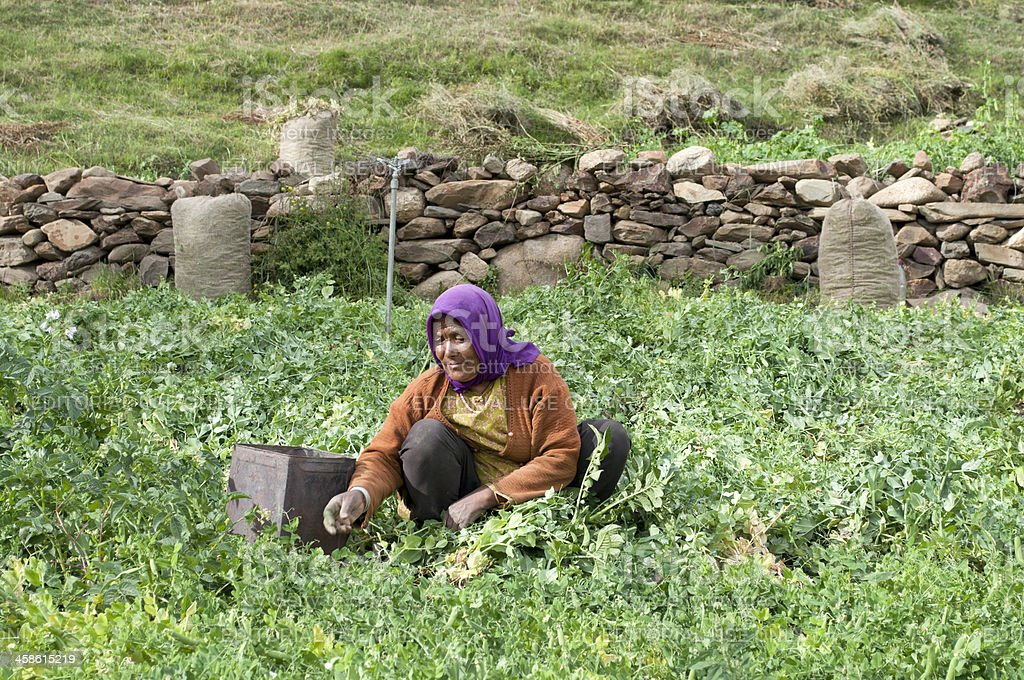 Picking Peas in Mountains of Northern India royalty-free stock photo