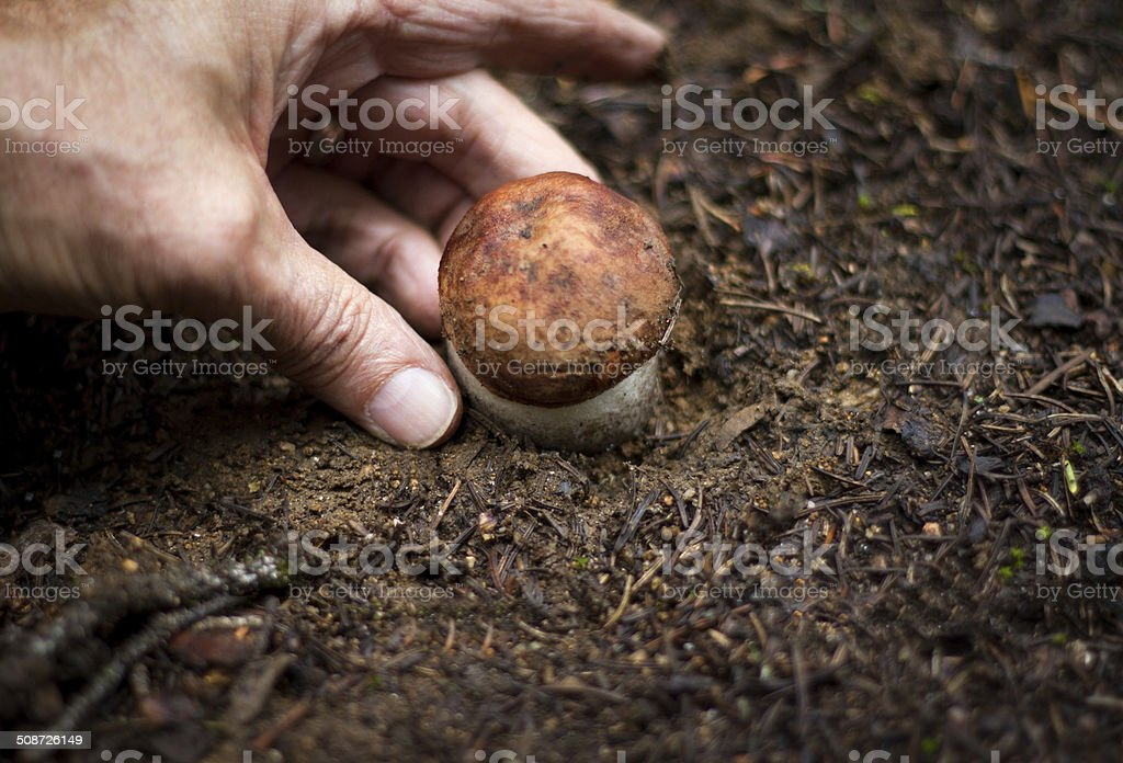 Picking Porcini Mushrooms in the Woods stock photo