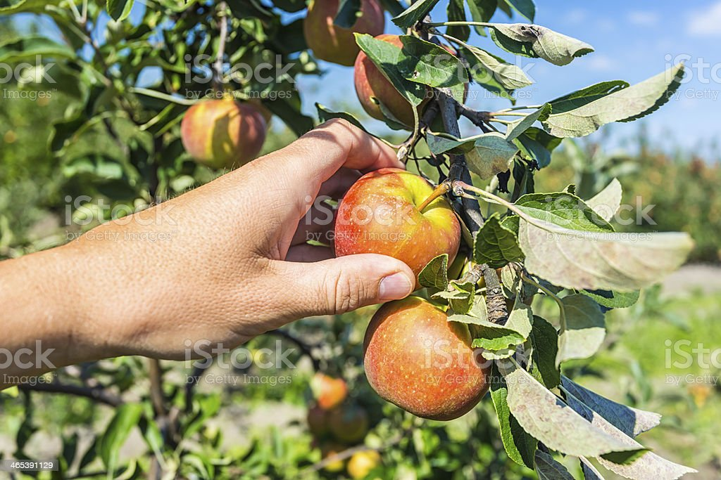 Picking red apple from a tree royalty-free stock photo