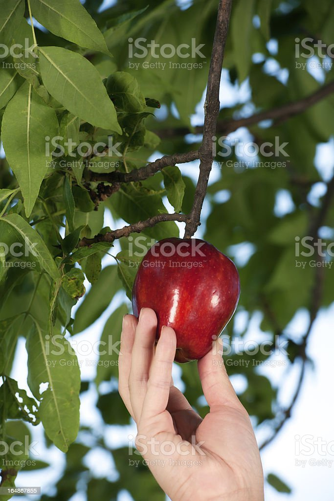 Picking Red Apple stock photo