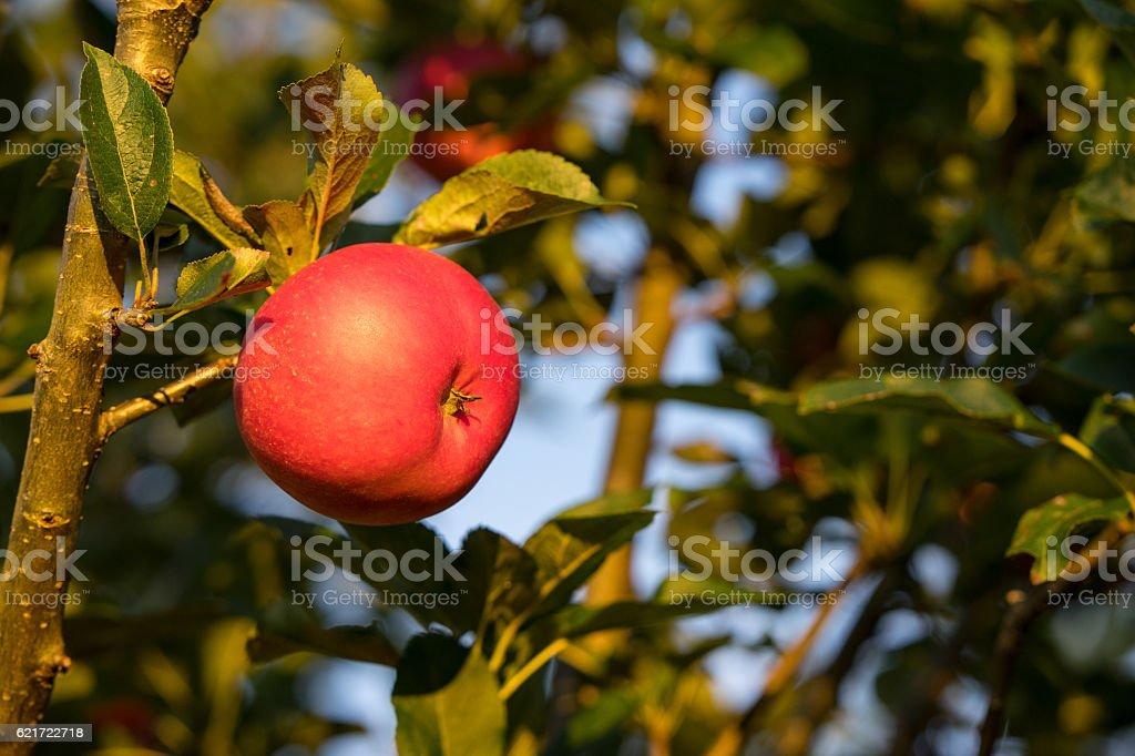 Picking ripe red apples hanging on tree stock photo