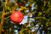Picking ripe red apples hanging on tree