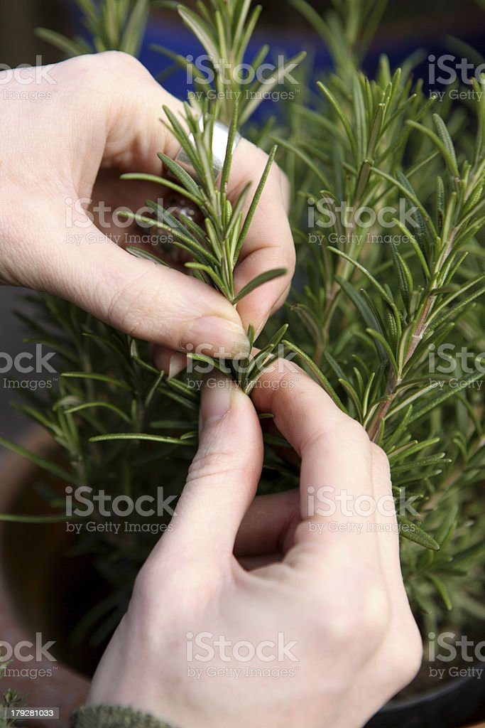 picking rosemary royalty-free stock photo