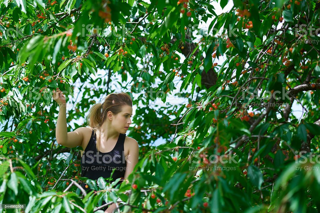 picking some cherries in the summer stock photo
