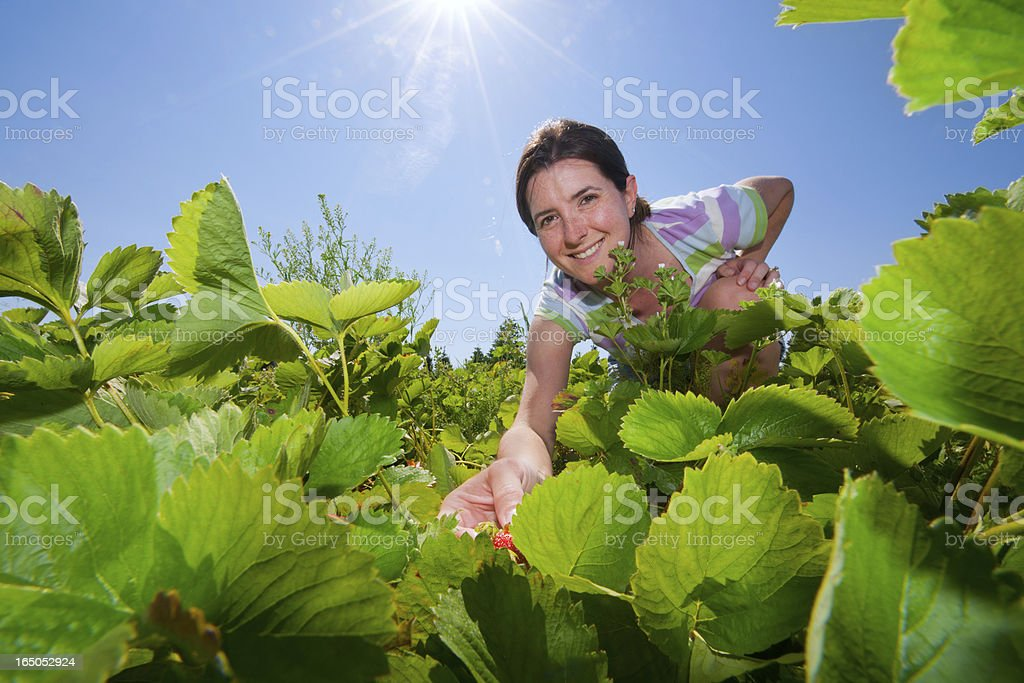 Picking Strawberries at the Strawberry Patch stock photo