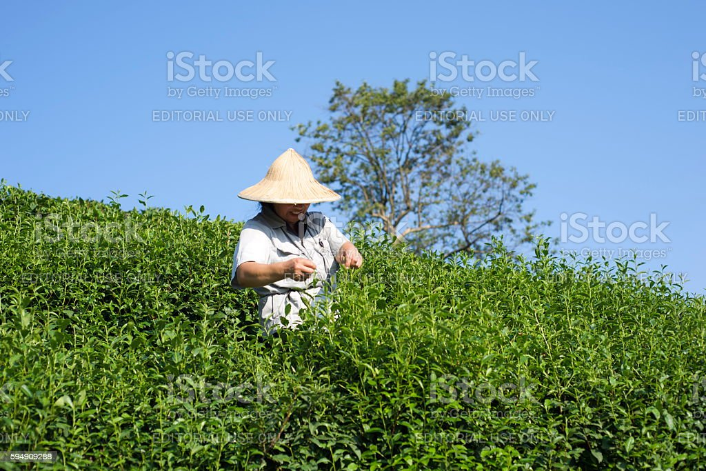 Picking tea in Longjing stock photo