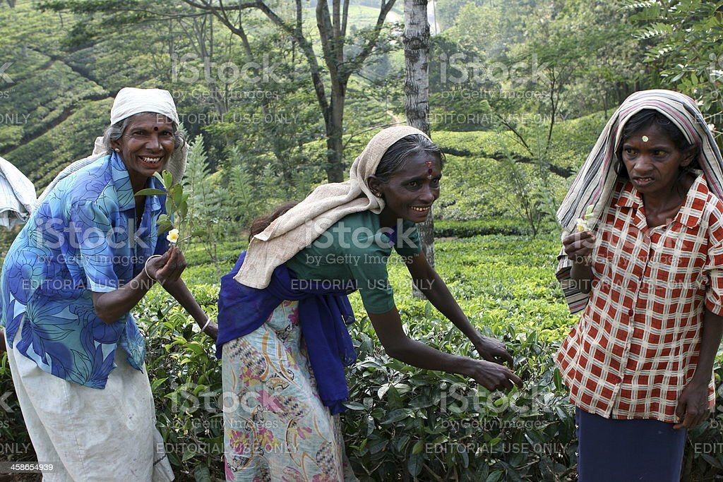Picking tea in Nuwara Elliya, Sri Lanka royalty-free stock photo