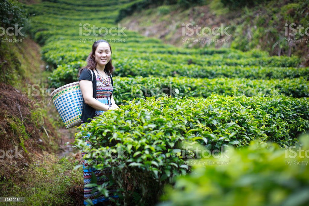 picking tea royalty-free stock photo