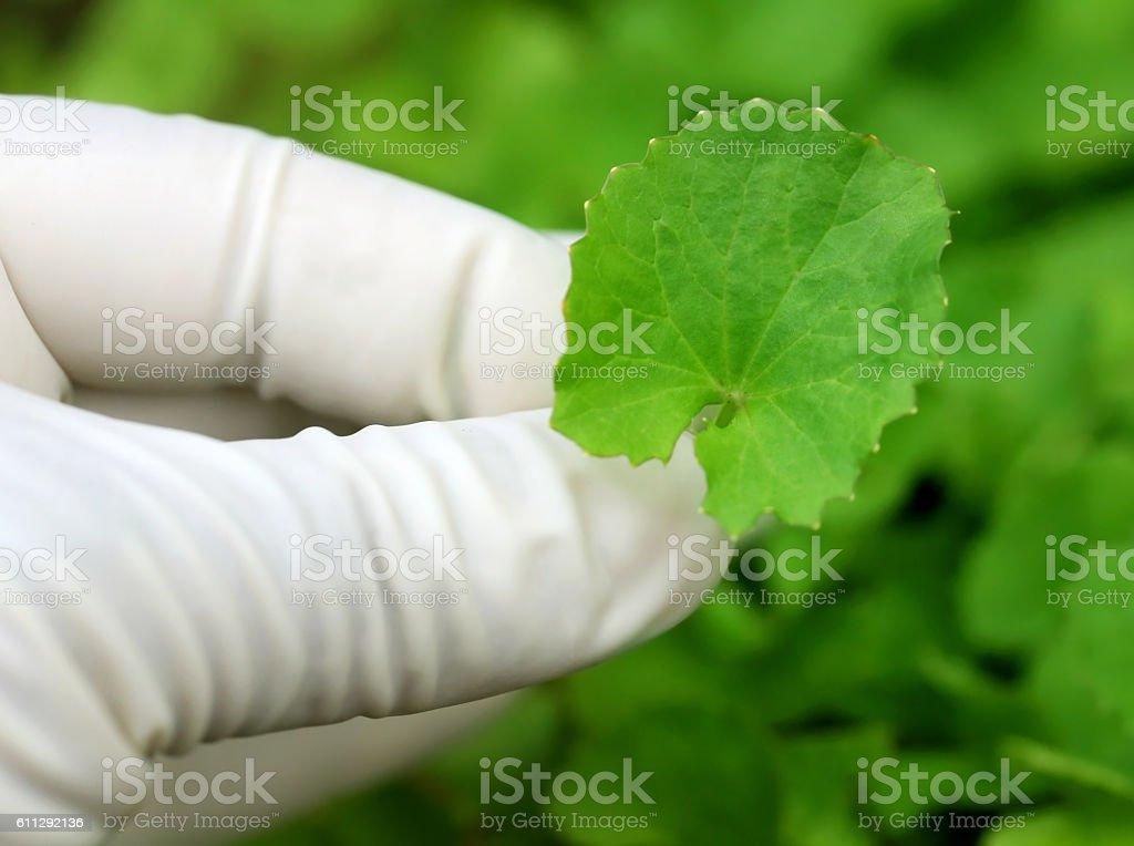 Picking Thankuni leaves stock photo