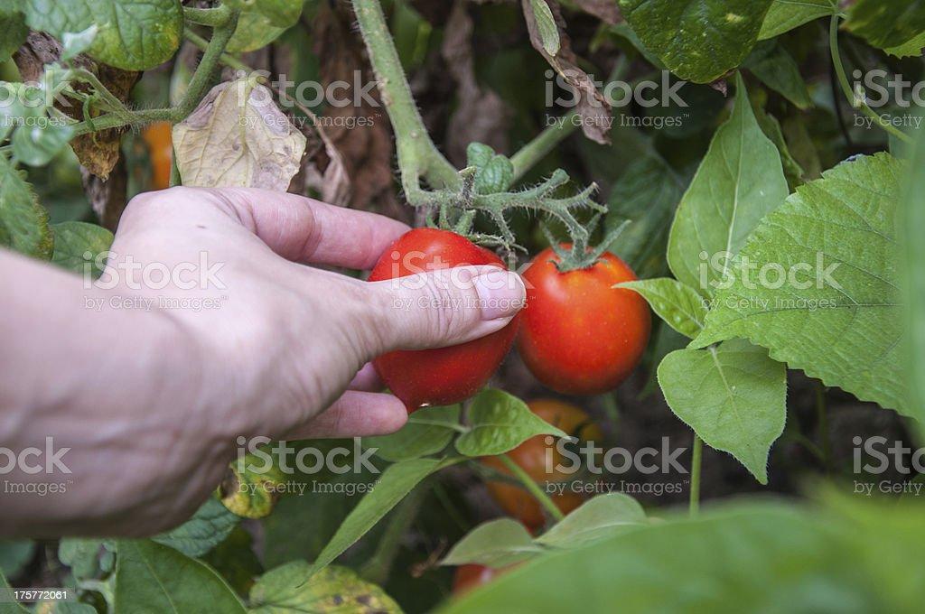 picking tomato royalty-free stock photo