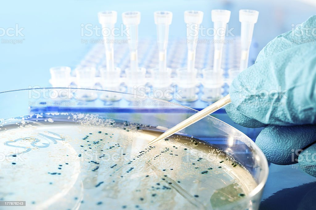Picking up bacterial colonies from agar plate stock photo