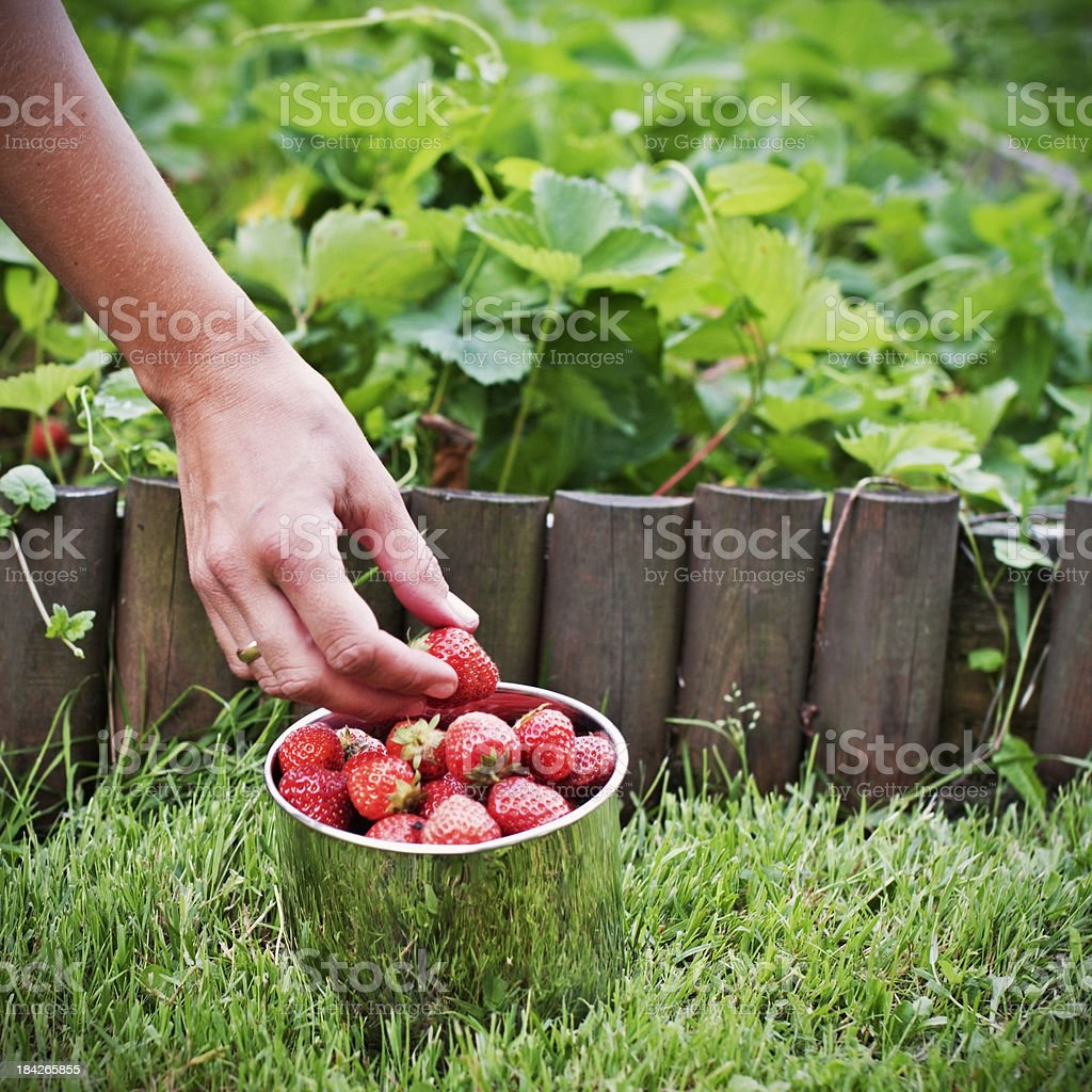 Picking up strawberries royalty-free stock photo
