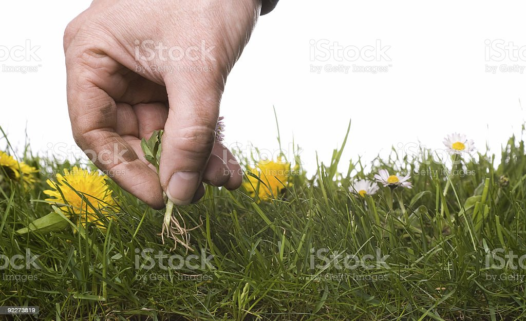 picking weeds stock photo